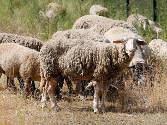 Schafe als Rasenmäher an Ruhrgebietsautobahn