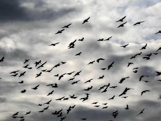 Wo geht's lang? Studie untersucht Informationsfluss im Vogelschwarm