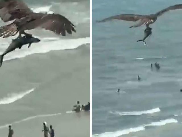 """Dieses Video irritiert alle: Vogel zieht""""Hai"""" aus dem Meer - und fliegt mit ihm davon"""