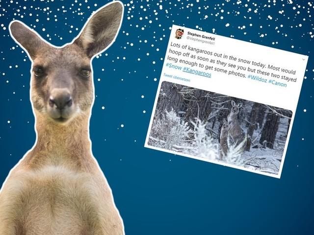 """""""Schnee-Kängurus"""" in Australien begeistern das Internet"""