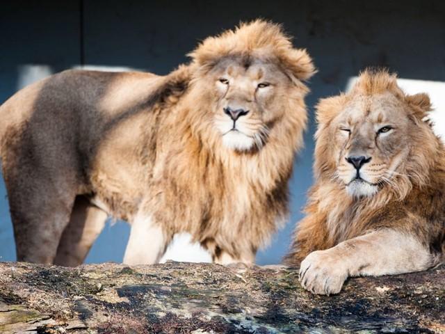 Zoo in Stuttgart: Wilhelma will Löwen züchten