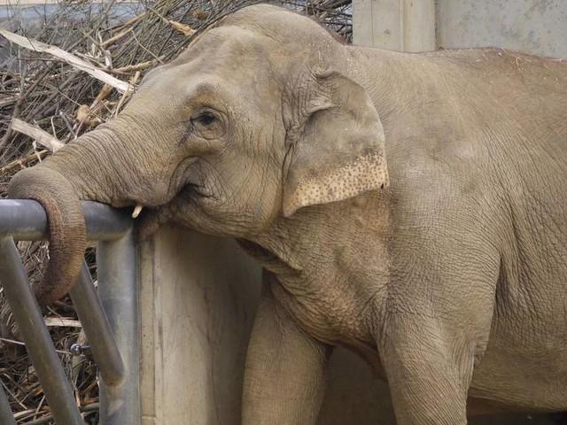 Ältester Elefant Deutschlands verliert nach 34 Jahren seine Gefährtin
