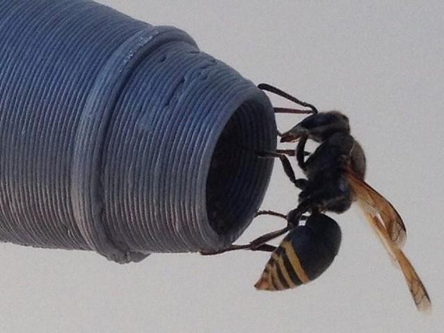 Nester verstopfen Rohre: Wespenart wird Flugverkehr gefährlich