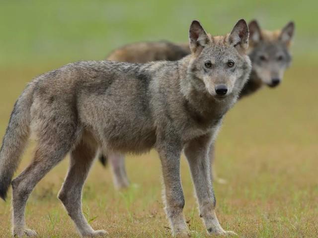 Niedersachsen will Abschuss von Wölfen möglich machen