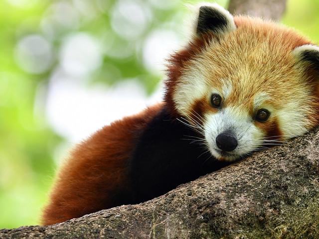 Tierpark Hellabrunn feiert Tag des Roten Pandas 2017 am 16. September