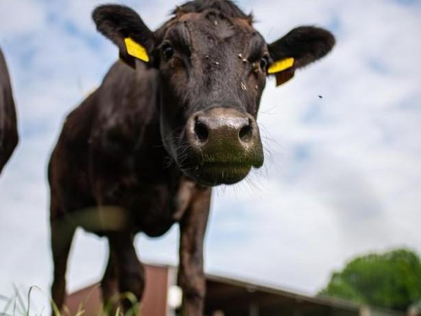 Agrar: Landvolk fordert weniger Bürokratie bei Hofschlachtungen