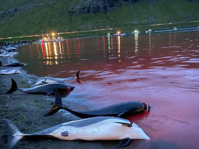 """1.400 Delfine auf Färöern abgeschlachtet: """"Größtes Massaker an Meeressäugetieren, das jemals dokumentiert wurde"""""""