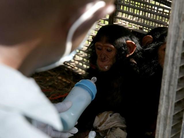 Durch Corona: Jetzt auch ein Engpass an Affen für die Forschung