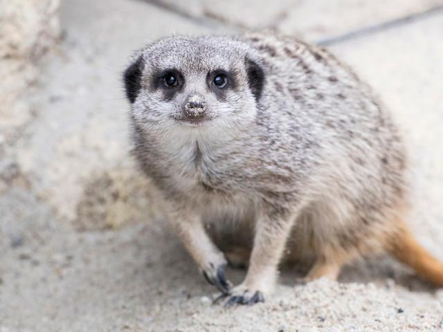 Tierpark Hellabrunn begrüßt 2018 neue Erdmännchen-Gruppe