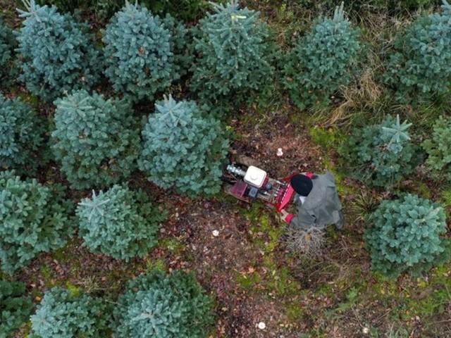 Brauchtum: Tannenbäume in Großbritannien rar und teuer