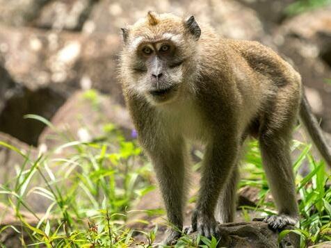 Der Affenmensch in der Petrischale