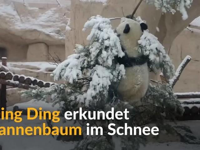 Video: Unverkaufte Tannen werden zu Spielzeug für Panda
