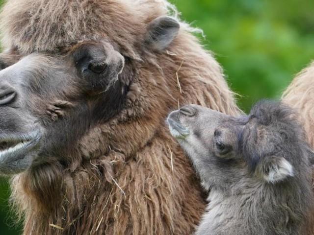 Niedlicher Kamel-Nachwuchs bei Hagenbeck