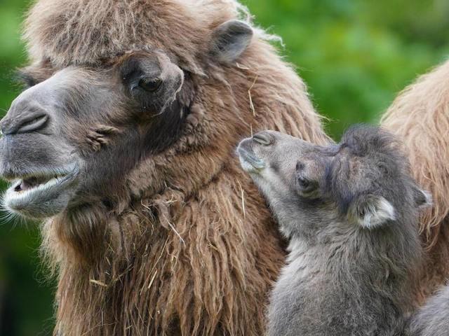 Hamburger Tierpark: Niedlicher Kamel-Nachwuchs bei Hagenbeck