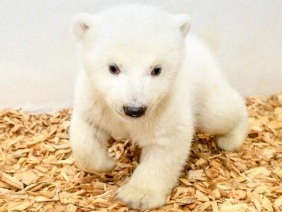 Süß! Das Eisbärenbaby in Berlin schielt
