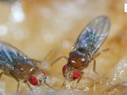 Plagegeister des Sommers: Wie vertreibt man Fruchtfliegen?