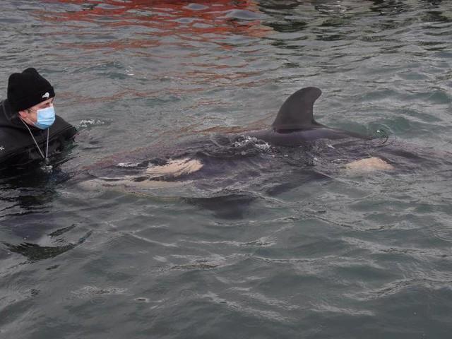 Schwertwal: Neuseeland trauert um Baby-Orca Toa