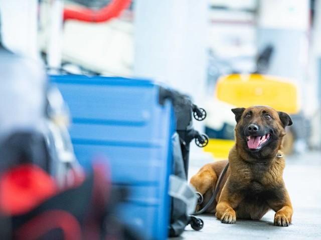 [GA+] Schäferhund im Einsatz: So arbeiten die Zollhunde am Köln/Bonner Flughafen