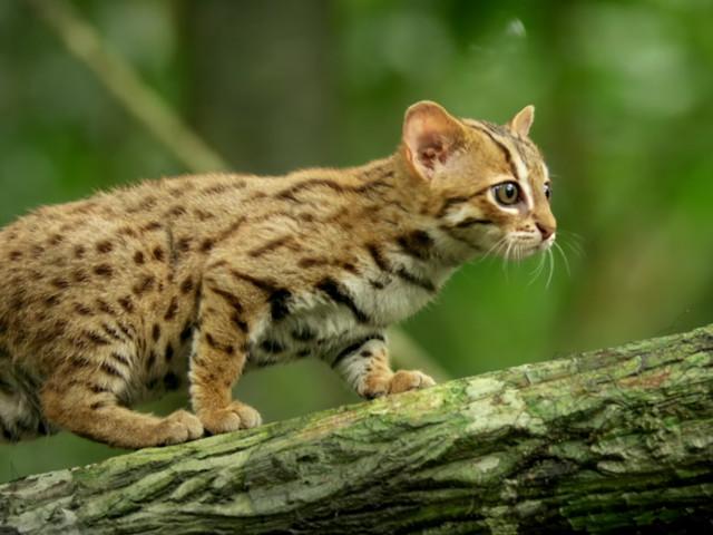 Cuteness Overload – Die kleinste Katze der Welt