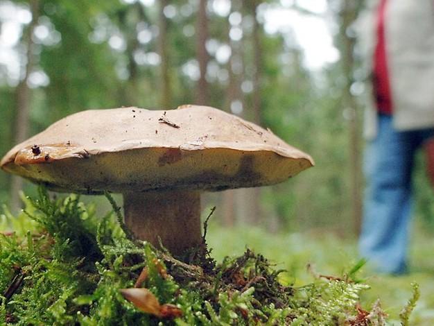 33 Jahre nach Tschernobyl: Pilze immer noch radioaktiv belastet