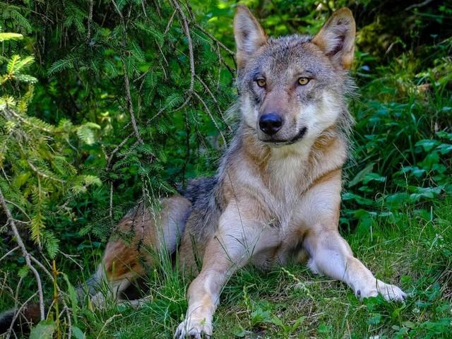 Wolf in der Schweiz geschossen - zuvor viele Schafe gerissen