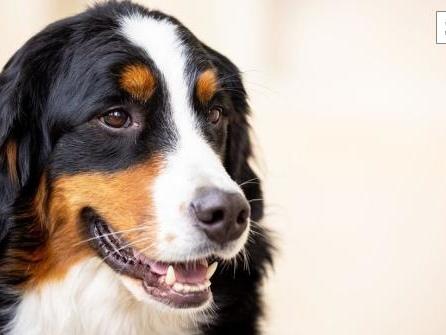 Spürhunde sollen Corona-Infektionen riechen