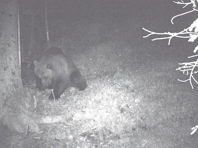 Totes Rotwild im Grenzgebiet entdeckt - Auf Beutezug in Tirol: Wildkamera knipst Braunbär nahe der bayerischen Grenze
