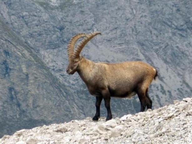 Traum-Tour durch die Alpen: Höhenwandern mit Steinbock-Garantie im Allgäu