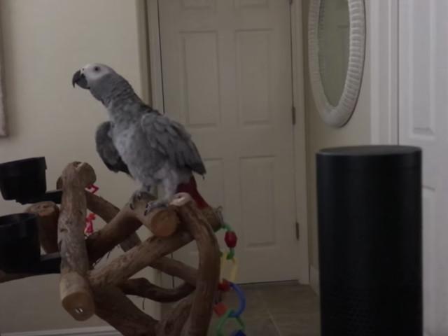 Haustier-Hack: Papagei spricht mit Alexa