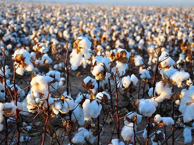 Nachfrage übersteigt Angebot: Woll- und Baumwollpreise auf historisch hohem Niveau