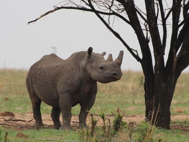 Tierschutz: Nashorn-Wilderei in Südafrika legt wieder zu