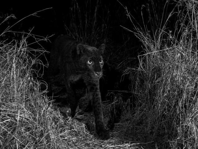 Schwarzer Leopard: Die wahre Geschichte hinter den Panther-Bildern