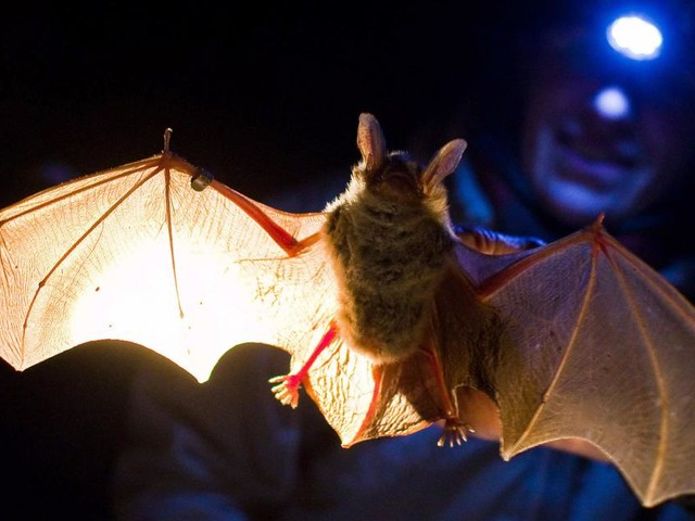 Neuartiges Coronavirus bei britischen Fledermäusen entdeckt