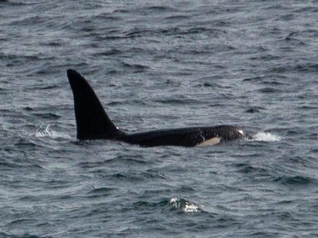 Normalerweise nur im Norden: Naturschützer sichten zwei Orcas vor Küste von Südwestengland