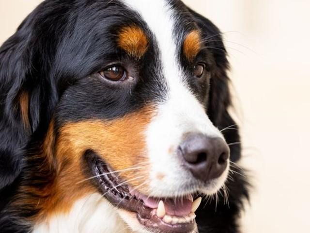 Forschungsprojekt: Spürhunde sollen Corona-Infektionen riechen