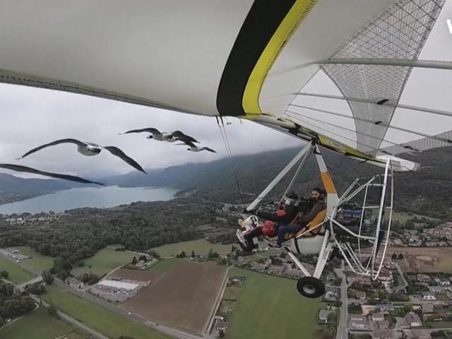Hier fliegen Gänse mit einem Ultraleichtflugzeug in Formation