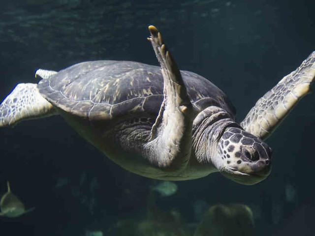 150 Kilo schweres Tier: Schildkröte Twiggy klaut Essen ihrer Mitbewohner und muss abspecken