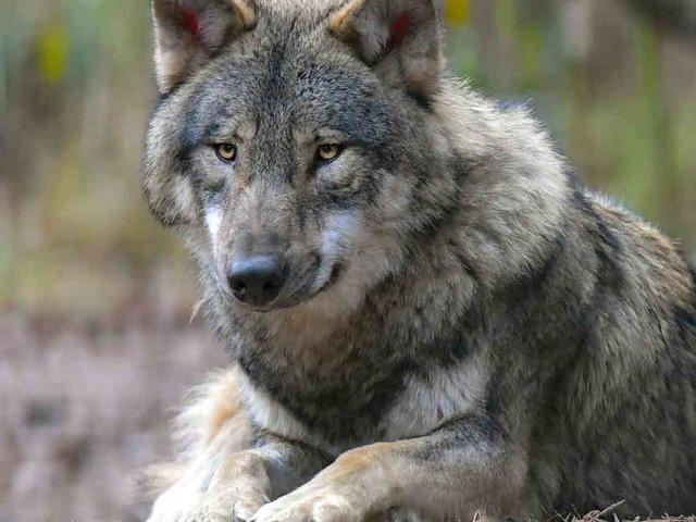 Opfer soll Jagdhunde angegriffen haben: Jäger aus Holland erschießt Wolf in Brandenburg
