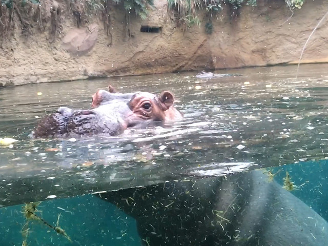 """""""Goldmine"""" im Kölner Zoo ermöglicht neue Blicke auf Flusspferde und Krokodile"""