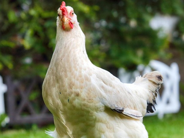 Huhn auf der Hauptstraße: Zeuge ruft Polizei