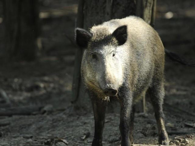 """Eisenstadt kämpft gegen Wildschweinplage und zieht """"Grenze"""""""