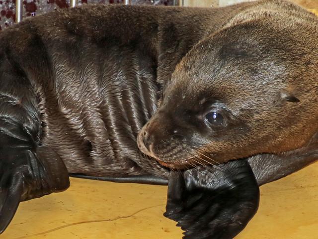 """Seelöwen-Baby im Karlsruher Zoo: """"Olivia"""" bringt sechstes Jungtier zur Welt"""