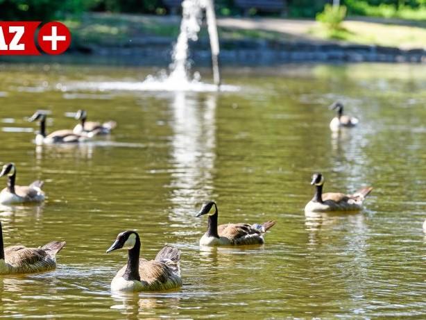 Angler: Gänse verletzen sich an Angelhaken im Sterkrader Volkspark