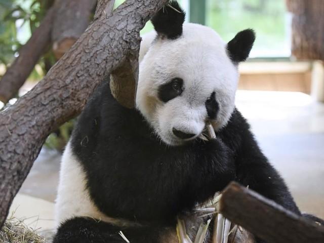 Offizielle Übergabe von Panda-Männchen Yuan Yuan an Tiergarten Schönbrunn