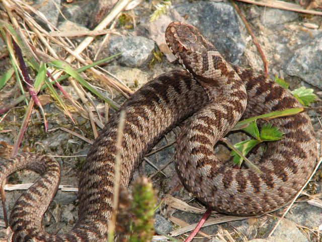 Kreuzotter: So gefährlich ist der Biss der deutschen Giftschlange