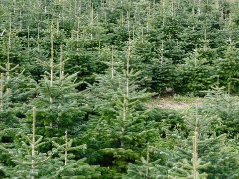 Weihnachtsbaumerzeuger im Norden optimistisch