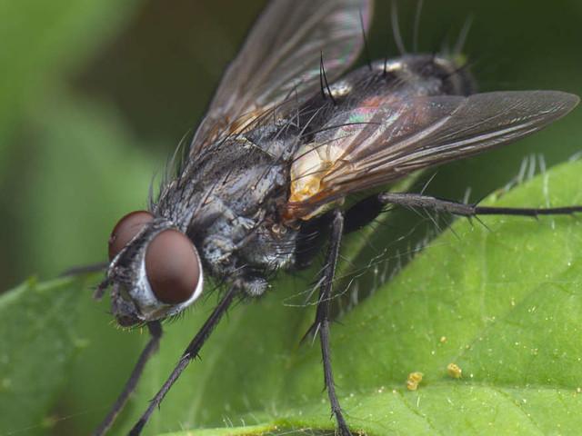 Stubenfliegen in der Wohnung: Deshalb sollten die Keimschleudern vertrieben werden
