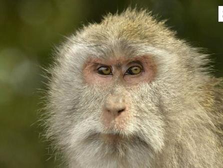 Wissenschaftler erzeugen Mischwesen aus Mensch und Affe