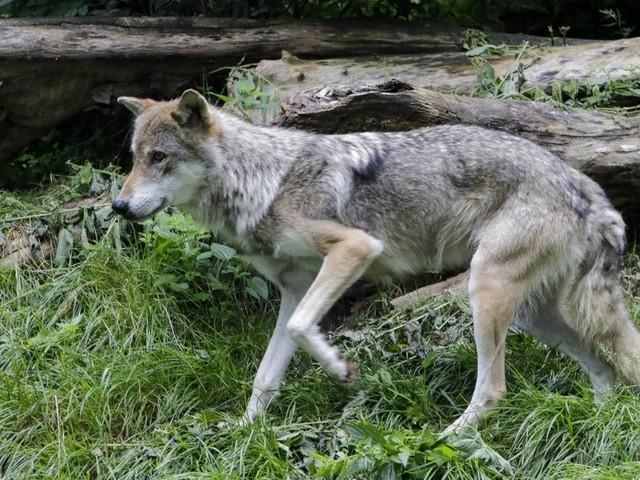 Wolfssichtung: Bürgermeister alarmierte Polizei zum Schutz von Kindern