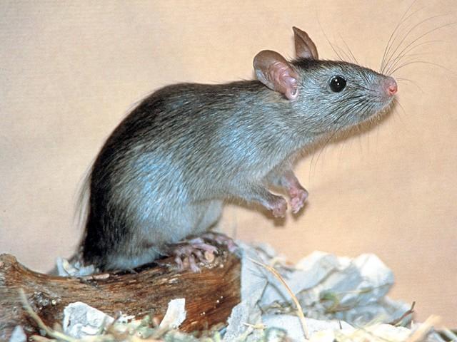 Ratten am Containerstandort